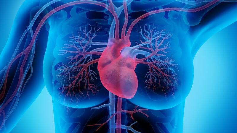 3-D-Grafik des Herz-Kreislaufsystems einer Frau mit Venen und Arterien