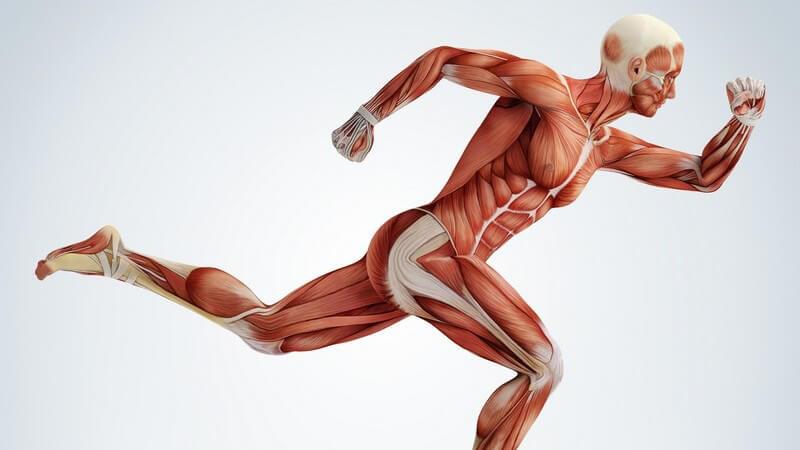 Modell eines Menschen, Fokus auf Muskeln