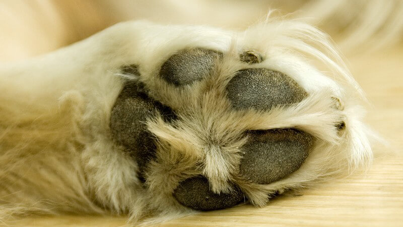 Nahaufnahme Hundepfote
