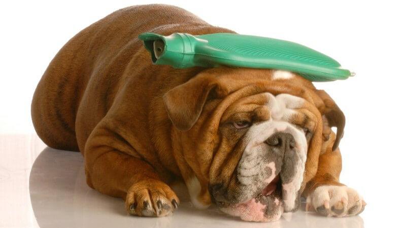 Kranker Hund, Bulldogge mit Wärmflasche auf dem Kopf