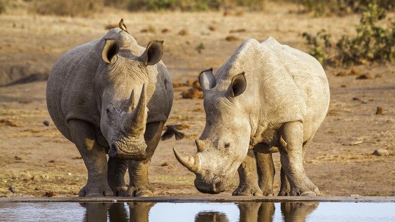 Zwei Nashörner stehen an einer Wasserquelle im Kruger Nationalpark