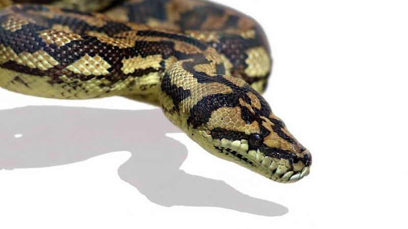 Nahaufnahme Pythonschlange auf weißen Hintergrund