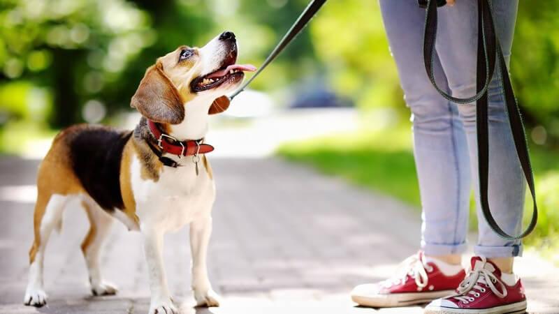 Kleiner Hund (Beagle) schaut zu seinem Herrchen auf, Frau in roten Chucks hat ihn an der Leine