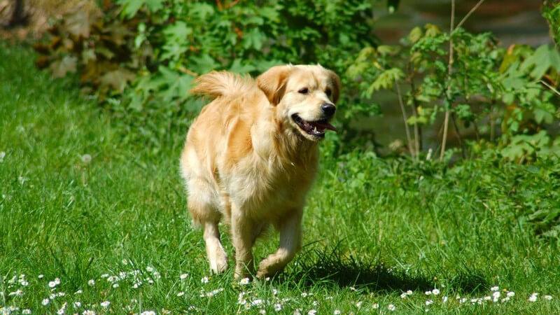 Laufender Golden Retriever auf grüner Wiese