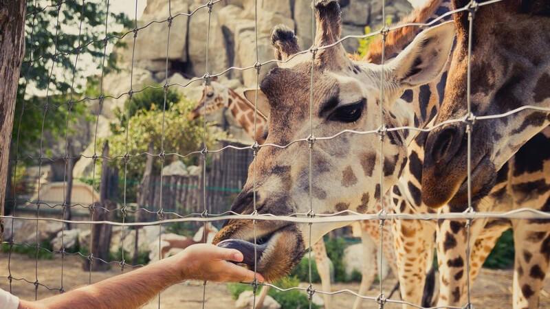 Giraffe im Zoo steckt den Mund durch den Zaun und frisst aus der Hand eines Besuchers