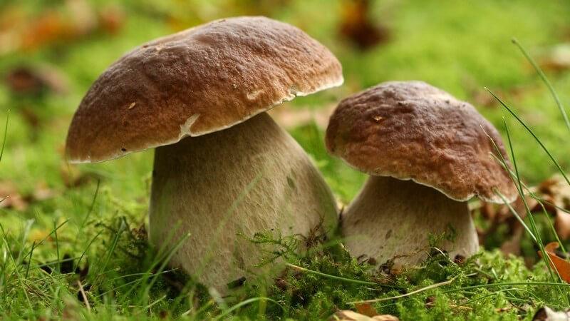 Nahaufnahme zwei Pilze auf Waldboden