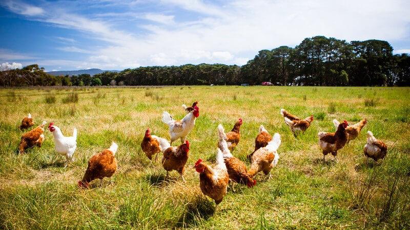 Freilaufende Hühner auf einer Wiese unter blauem Himmel