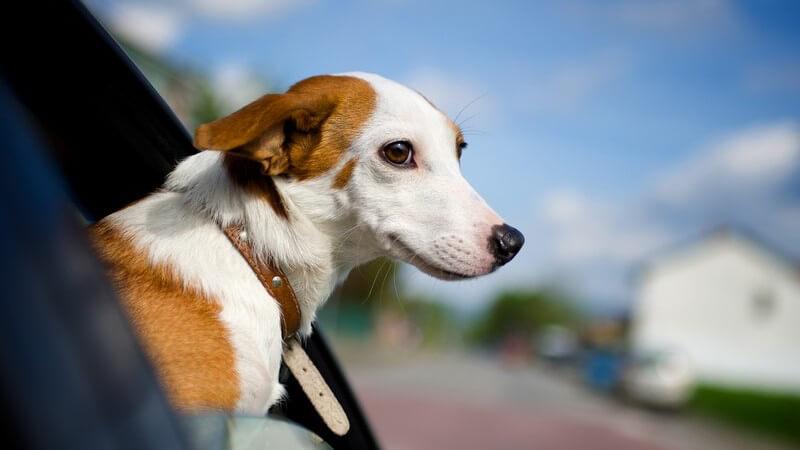 Kleiner weiß-brauner Hund guckt aus Autofenster