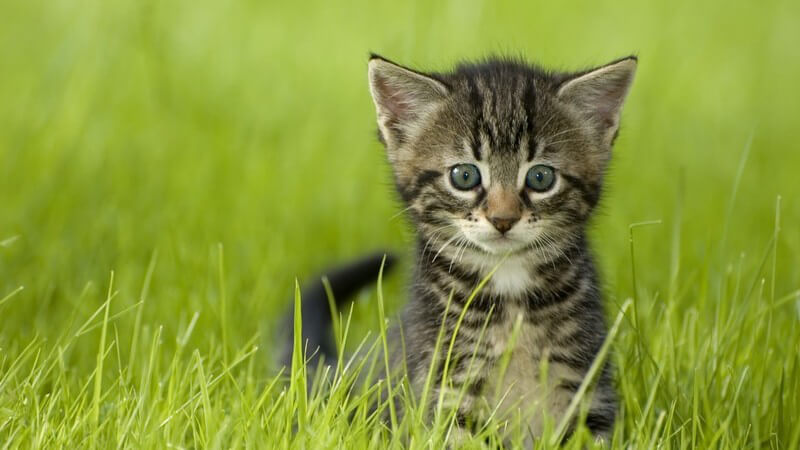 Kleine graue Katze im Gras
