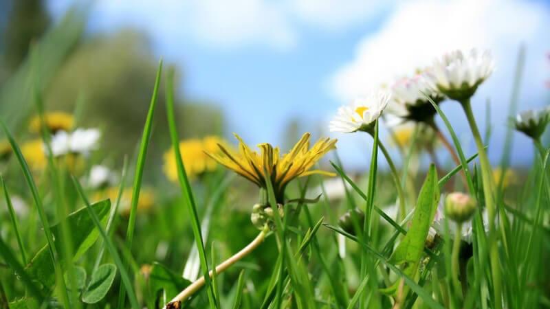 Nahaufnahme Blumen auf grüner Wiese, Frühlingswiese