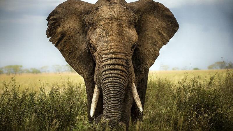 Vorderansicht Elefant in freier Natur, Afrika