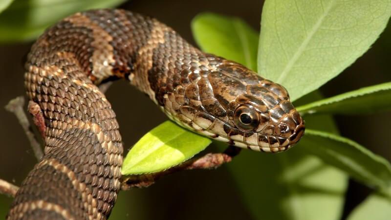 Braun gestreifte Schlange auf grünem Blatt