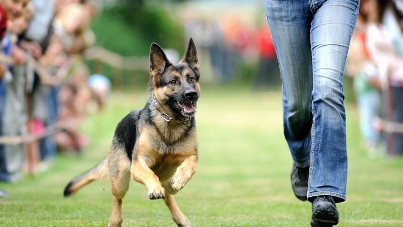 Rennen, Schäferhund rennt neben Besitzerin her