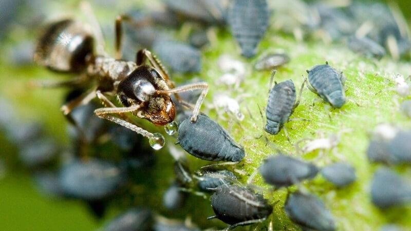 Nahaufnahme Ameise zwischen Blattläusen
