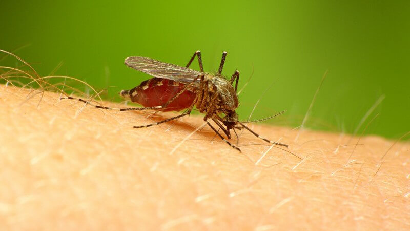 Nahaufnahme Mücke sitzt auf Arm, grüner Hintergrund