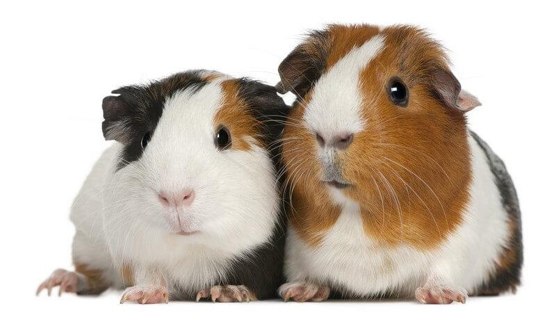 Zwei Meerschweinchen nebeneinander auf weißem Hintergrund
