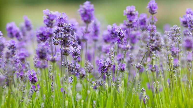 Blühender Lavendel auf grüner Wiese