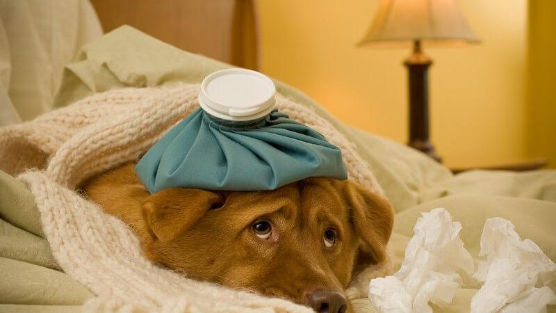 Kranker Hund mit Schal im Bett