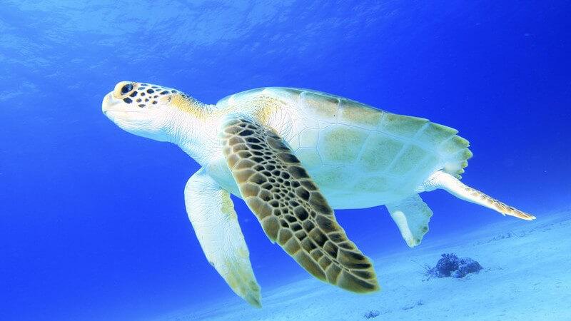 Große Wasserschildkröte unter Wasser