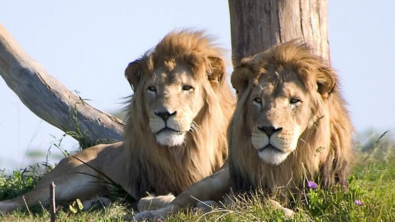 Zwei Löwen liegen am Baumstamm auf Wiese