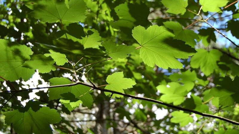 Ausschnitt Baumkrone eines grünen Laubbaums