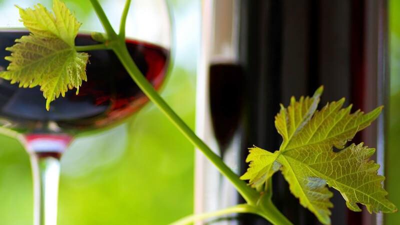 Weinzweig mit Blättern, im Hintergrund Glas mit Rotwein