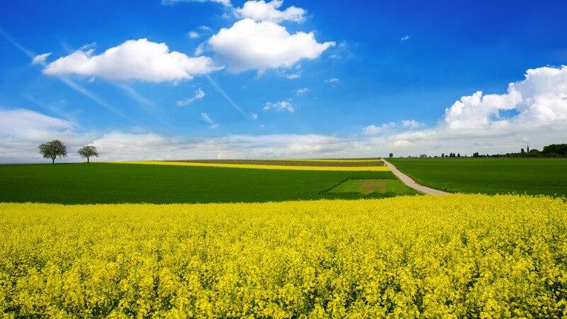 Raps und Weizen-Felder im Frühling oder Frühsommer unter blauem Himmel