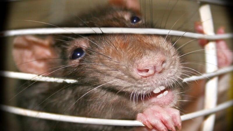 Nahaufnahme Ratte am Käfiggitter beisst in Gitter