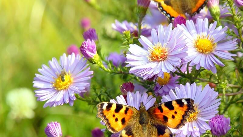 Zwei Schmetterlinge auf Flieder farbenden Blumen, Sonnenlicht, Wiese