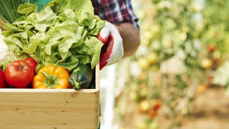 Gärtner trägt eine helle Holzkiste mit frisch geerntetem Gemüse wie Kopfsalat, Paprika und Tomaten