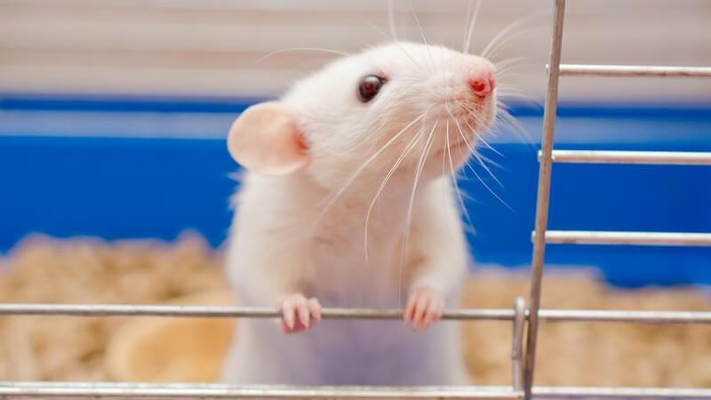 Weiße Ratte steht am offenen Gitter eines blauen Käfigs