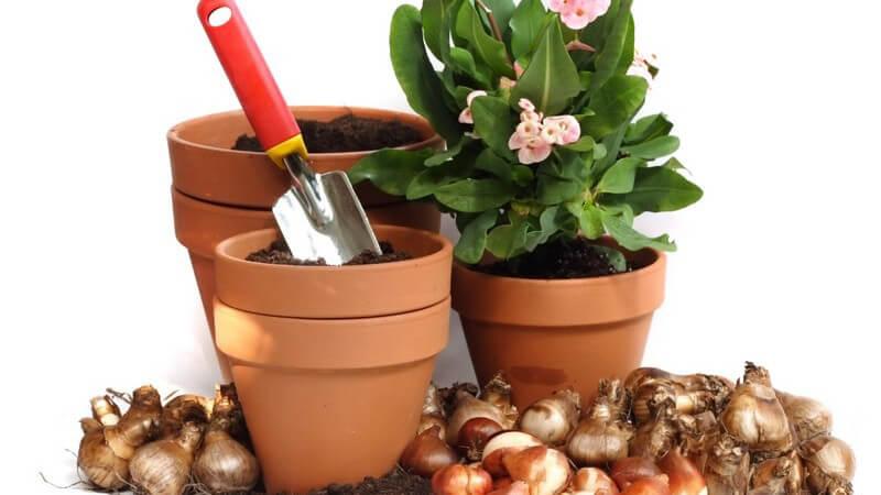 Tönerne Pflanzentöpfe, in einem eine Schaufel, in einem eine Pflanze mit rosa Blüten, davor Zwiebeln