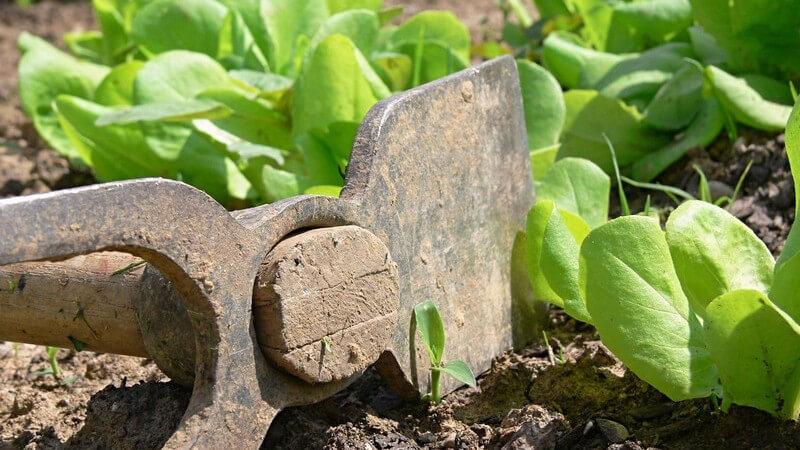 Nahaufnahme Hacke auf Erde bei Salatblättern