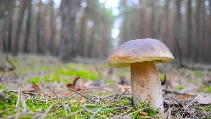 Steinpilz auf der Lichtung eines Waldes