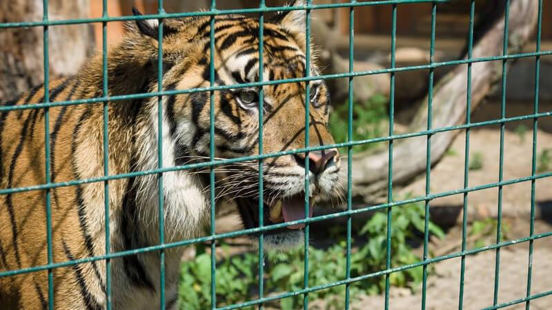 Tiger guckt hinter grünem Gitter aus seinem Gehege