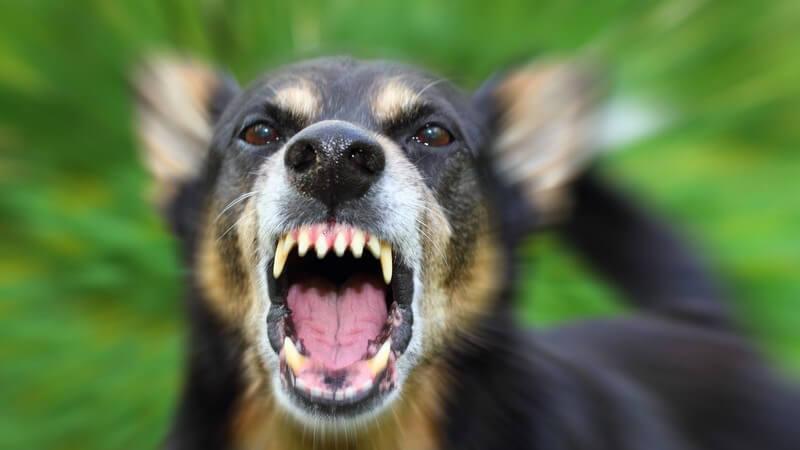 Bellender schwarzbrauner Hund mit furchteinflößenden Zähnen