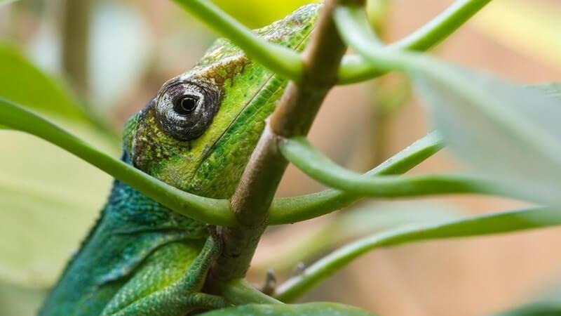 Grünes Reptil ähnlich wie ein Leguan klettert Ast mit grünen Blättern hoch