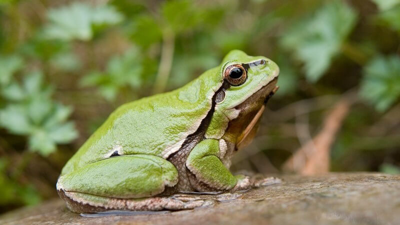 Grüner Laubfrosch auf Stein