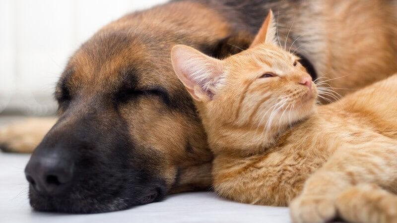 Haustiere: Katze und Hund schlafen nebeneinander eingekuschelt