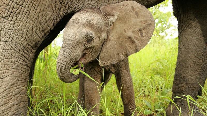 Afrikanischer Babyelefant geht unter dem Bauch seiner Mutter her