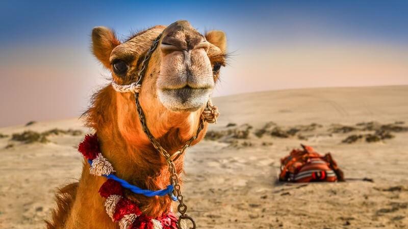 Nahaufnahme eines Kamels mit lustigem Blick in der Wüste
