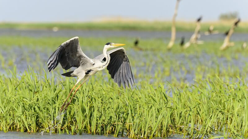 Ein Graureiher hebt sich aus einem Flussdelta in die Lüfte