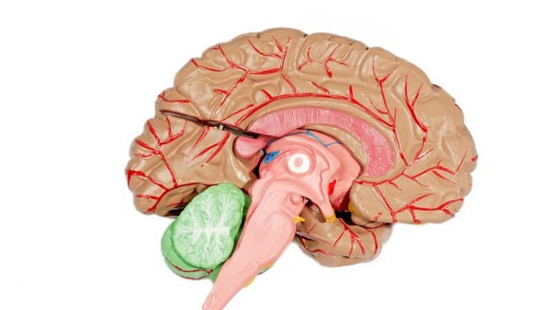 Lehrmodell menschliches Gehirn auf weißem Hintergrund