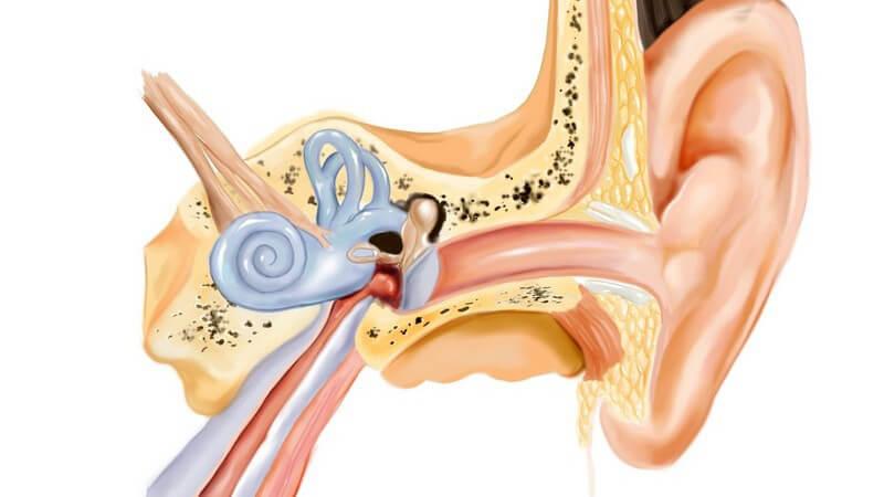 Zeichnung Anatomie menschliches Ohr auf weißem Hintergrund