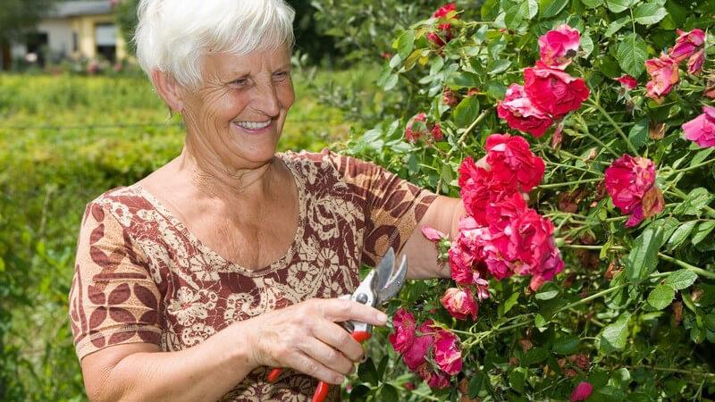 Lächelnde reife Dame in Garten vor Rosenstrauch mit Rosenschere