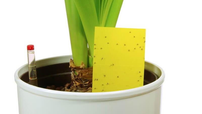 Gelbtafel mit toten Insekten in Blumentopf mit Pflanze