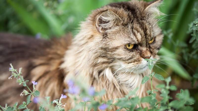 Grau-braune Perserkatze sitzt im Garten vor einer Katzenminze