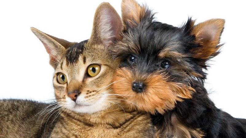 Braune Katze und kleiner schwarz, brauner Hund liegen aneinandergelehnt