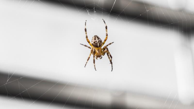 Kreuzspinne hängt im Spinnennetz