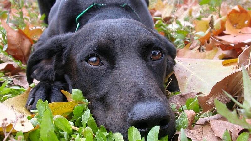 Hund: Schwarzer Labrador liegt auf Gras mit Herbstblättern